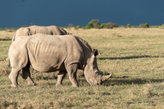 Ol Pejeta - Southern white rhinoceros