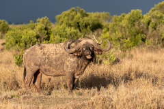 Ol Pejeta - African buffalo