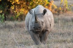 Ol Pejeta - Black rhinoceros