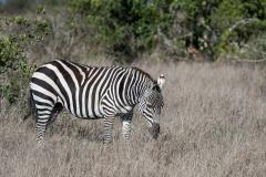 Ol Pejeta - Plain zebra