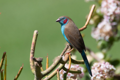 Aberdare - Red-cheeked cordon-bleu