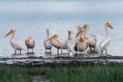 Lake Nakuru - Great white pelican