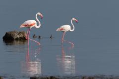 Lake Nakuru - Greater flamingo
