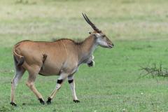 Masai Mara - Eland antilope