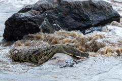Masai Mara - Nile crocodile