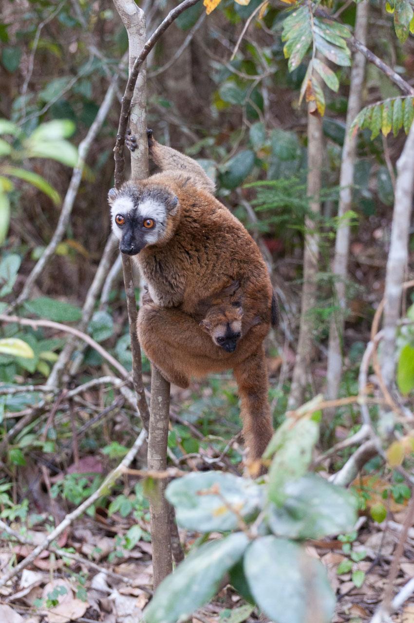 Andasibe - Vakona lemur island - Red fronted brown lemur