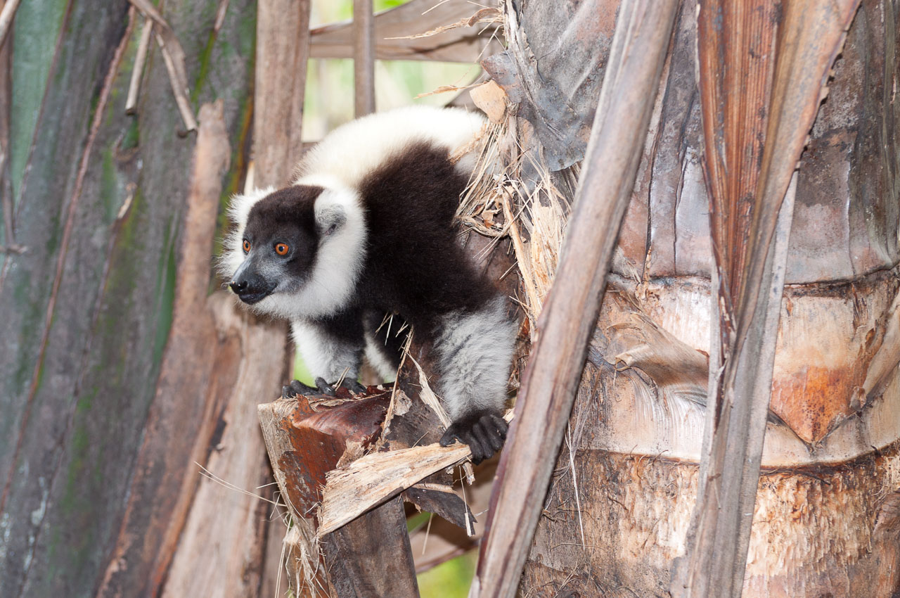 Andasibe - Vakona lemur island - Black and white ruffed lemur
