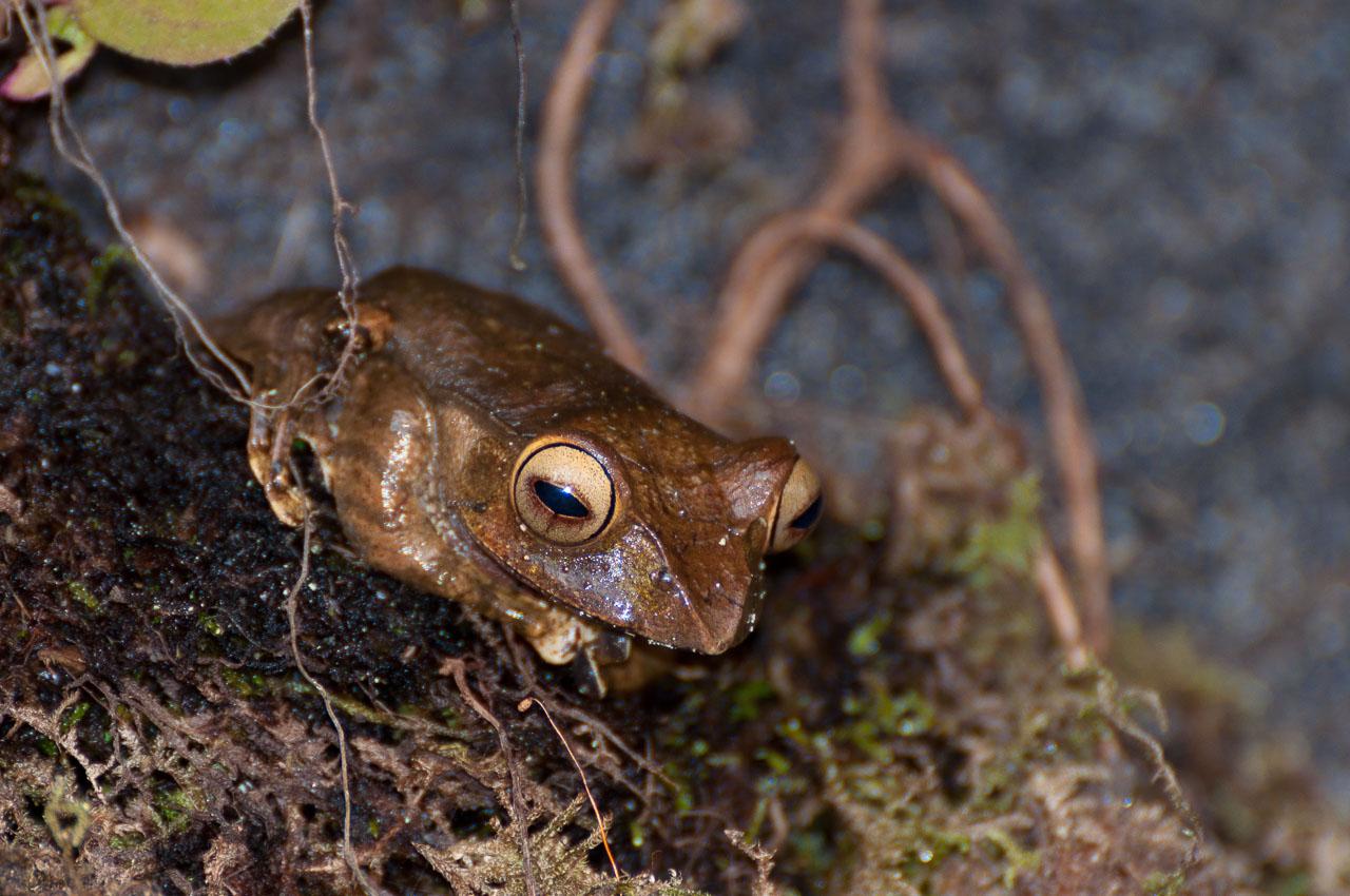 Ranomafana - Frog