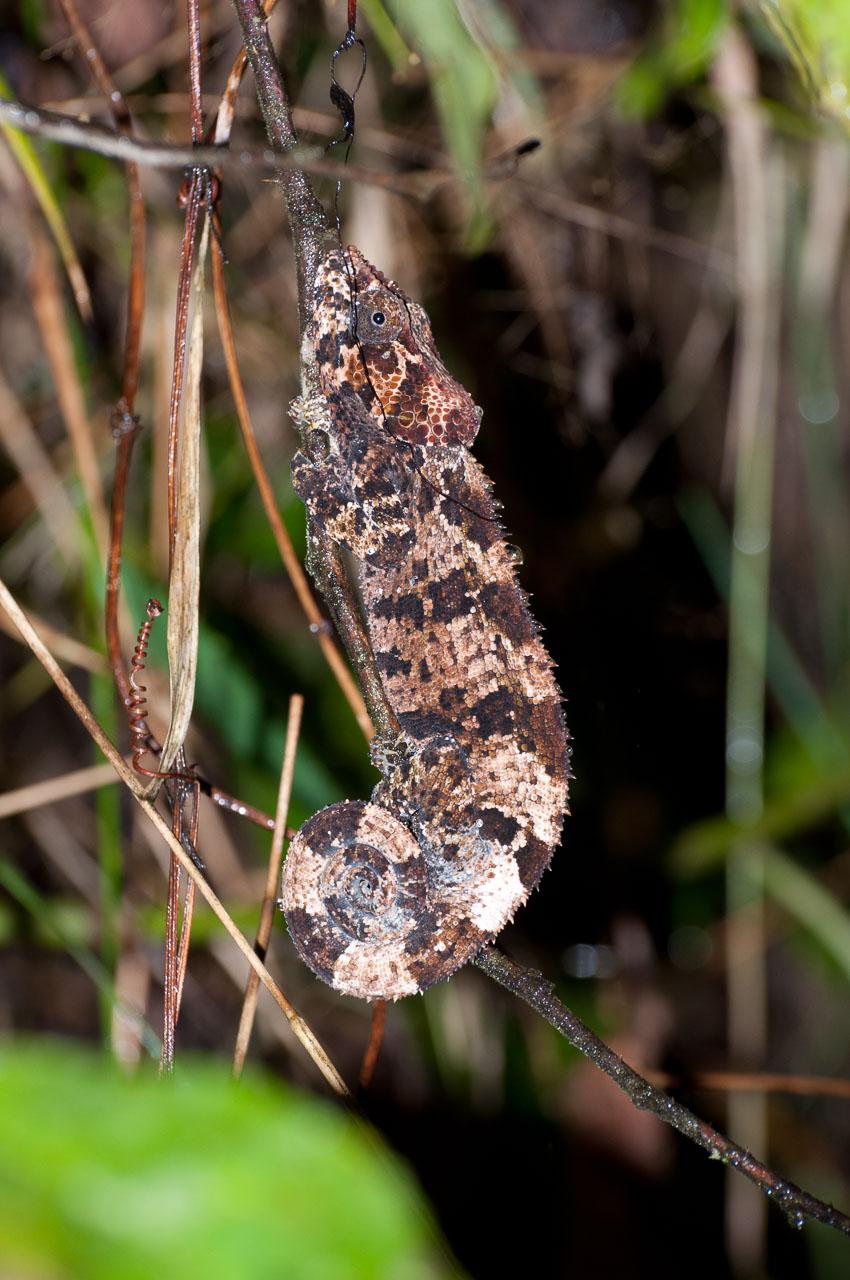 Ranomafana - Chameleon