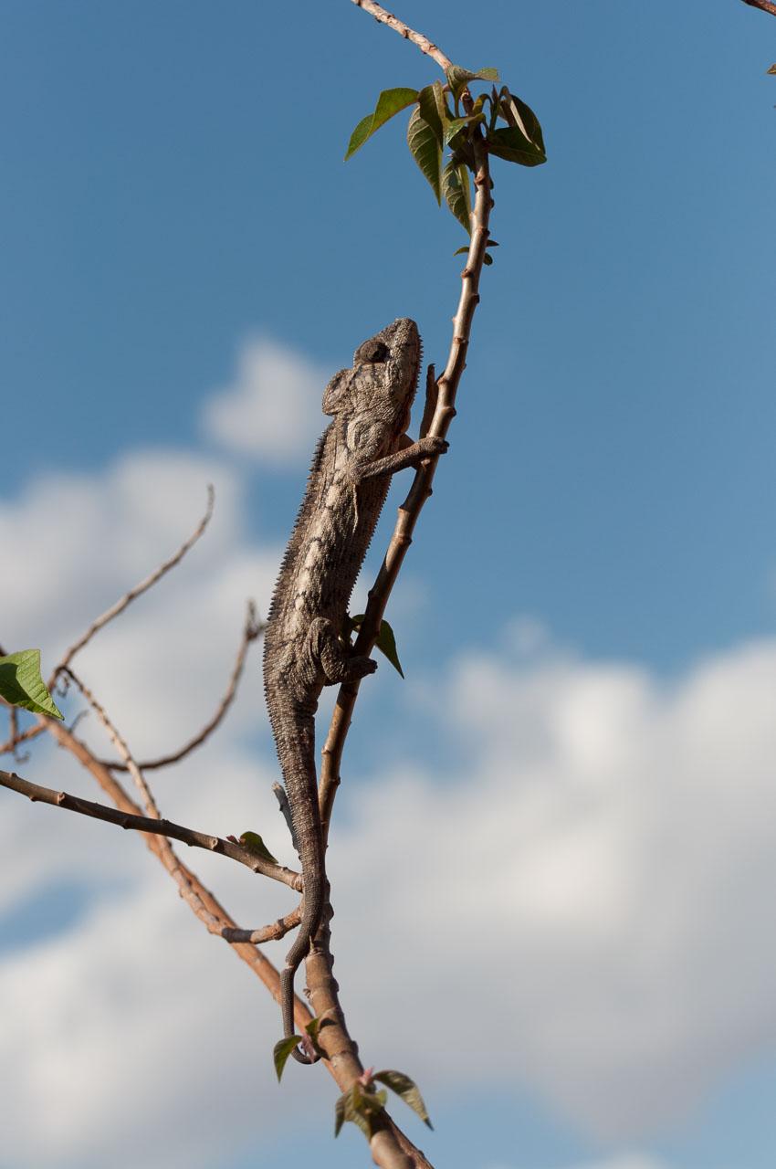Ambalavao - Chameleon