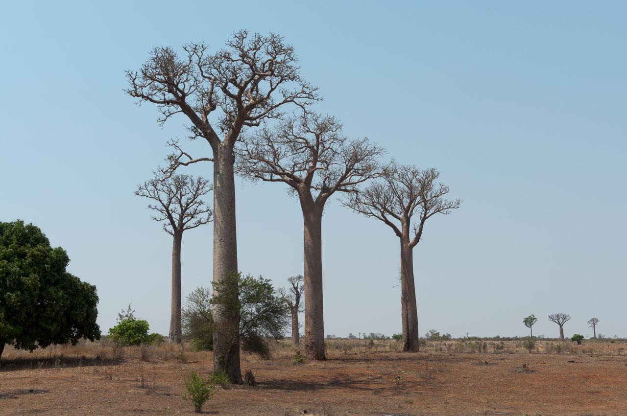 Isalo to Ifaty - Baobab tree