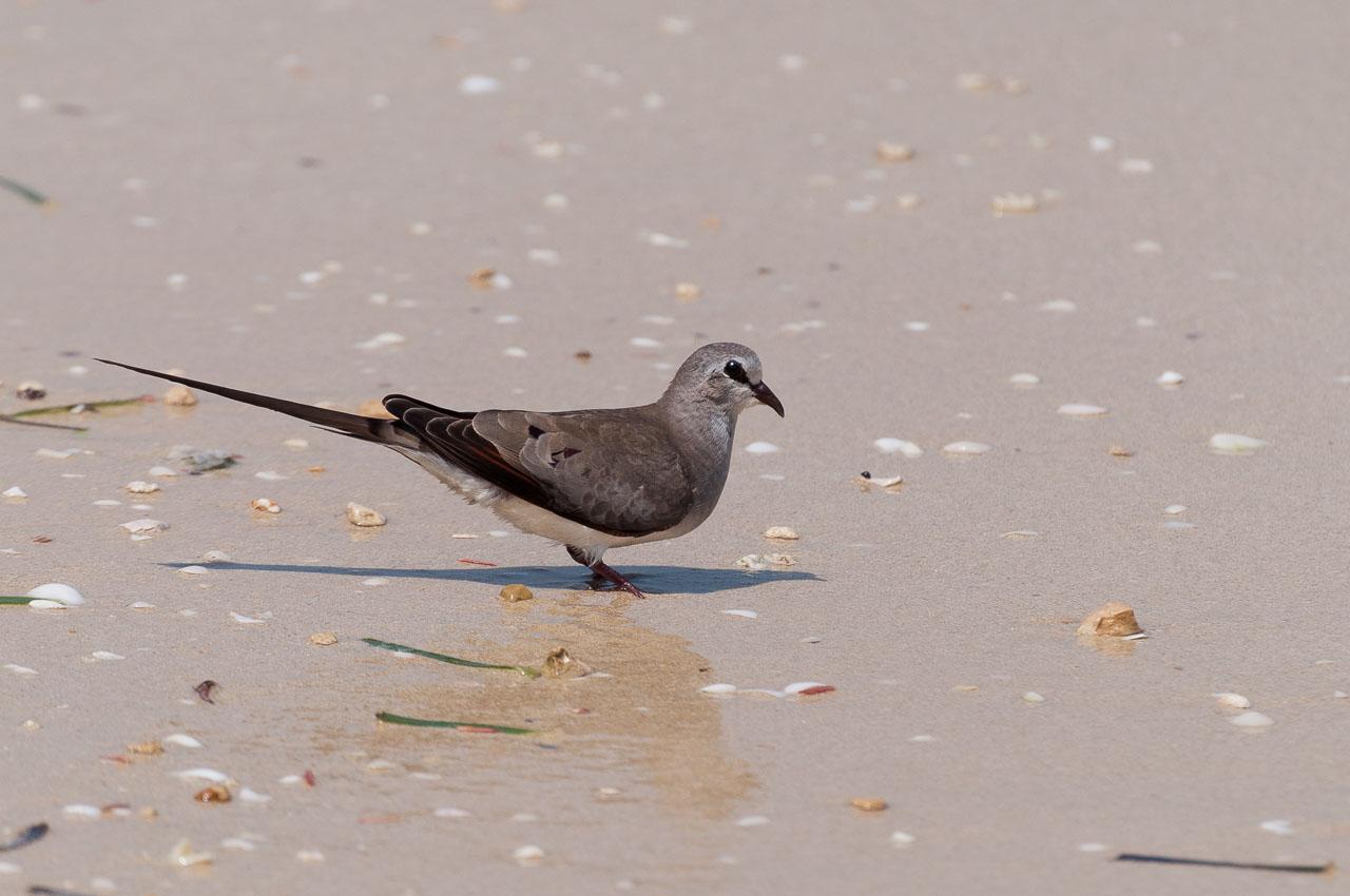 Ifaty - Namaqua dove