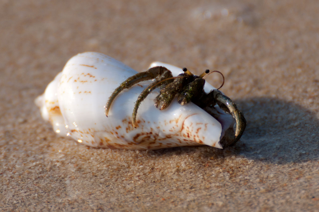 Ifaty - Hermid crab