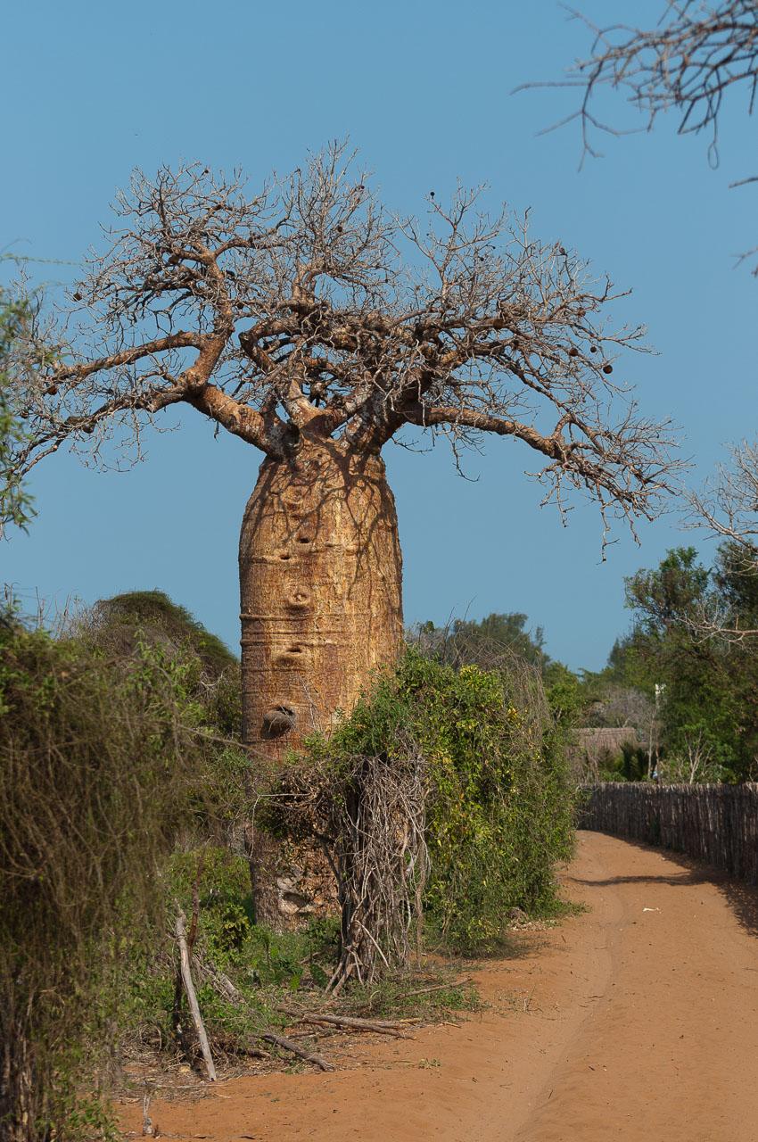 Ifaty - Baobab tree