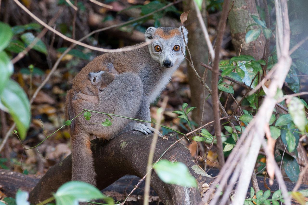 Ankarana - Crowned lemur