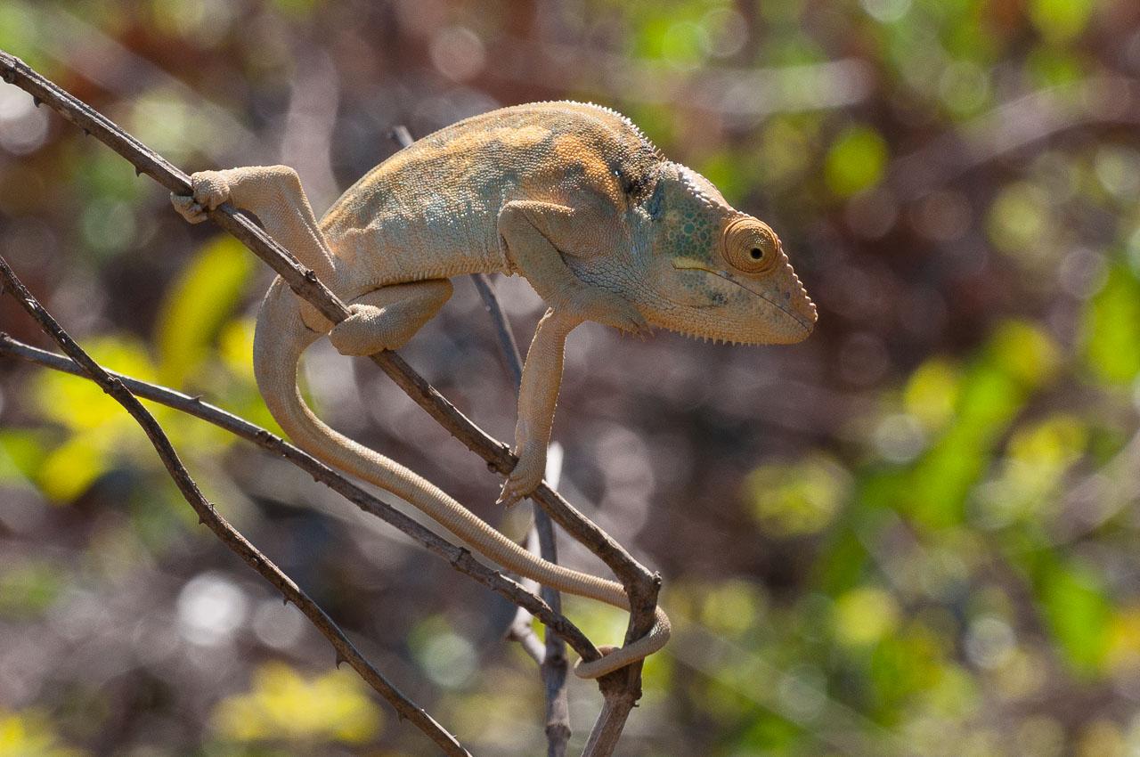 Nosy Be - Chameleon