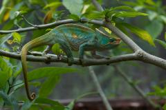 Andasibe - Parson's chameleon