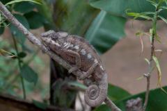 Andasibe - Chameleon