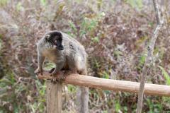 Andasibe - Vakona lemur island - Common brown lemur