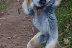 Andasibe - Vakona lemur island - Diademed sifaka