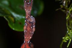 Ranomafana - Leaf tailed gecko