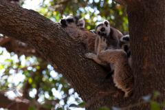 Isalo - Ring tailed lemur (Catta)