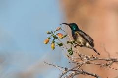 Ifaty - Souimanga sunbird