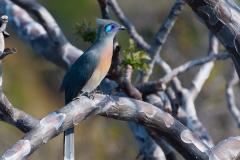 Ankarana - Crested coua