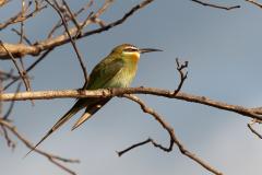 Ankarana - Madagascar bee-eater