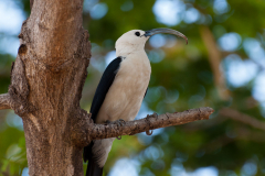 Ankarana - Sickle-billed vanga