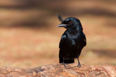 Ankarana - Crested drongo