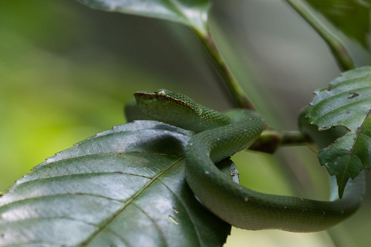 Bako NP - Waglers pit viper