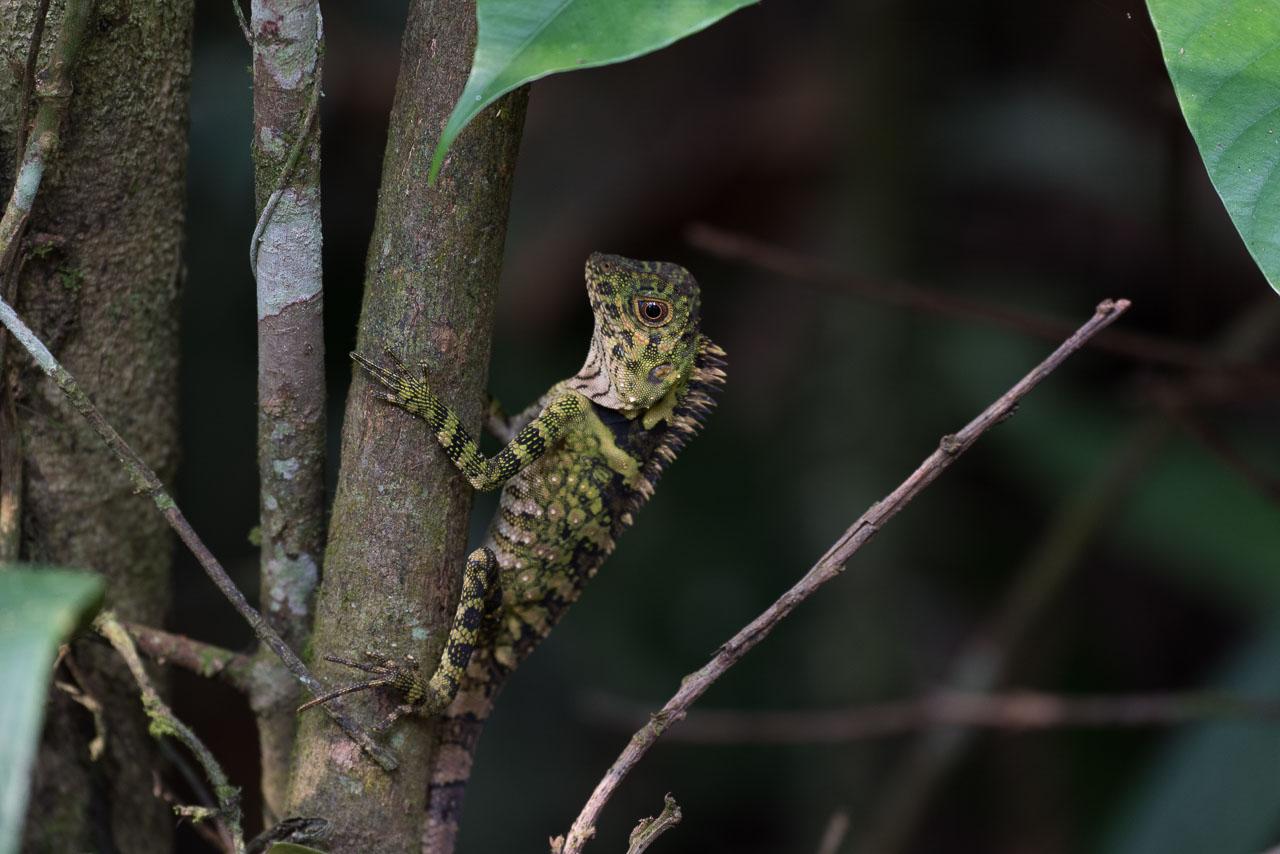 Semenggoh - Angle-headed lizard