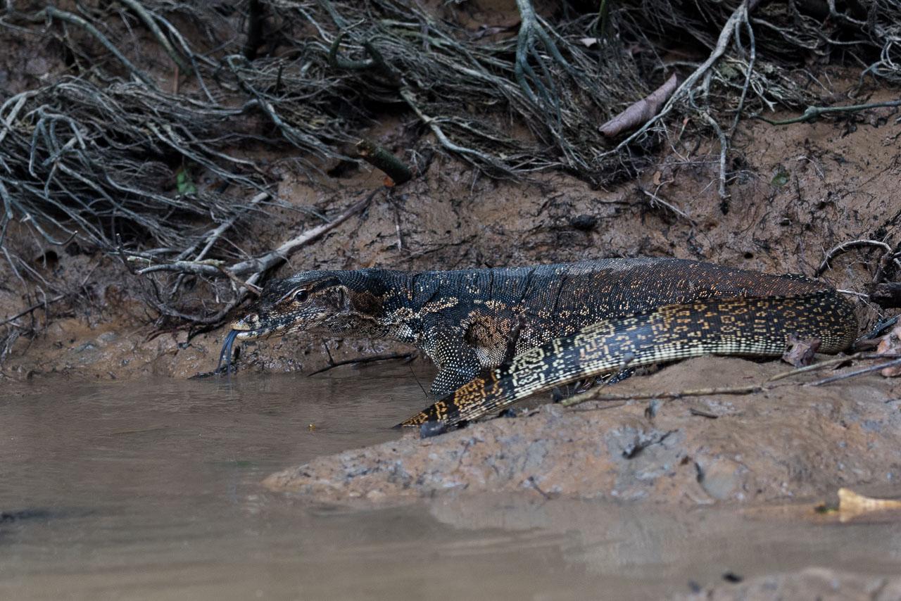 Kinabatangan - Water monitor lizard