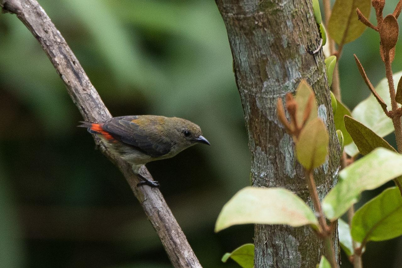 Kinabatangan - Scarlet-backed flowerpecker (f)
