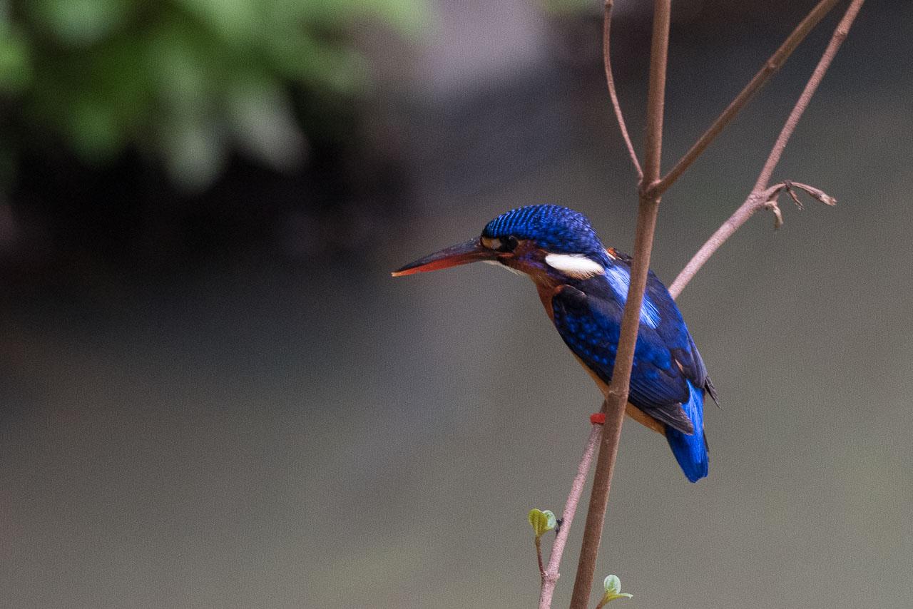 Kinabatangan - Blue-eared kingfisher