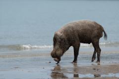 Bako NP - Bearded pig