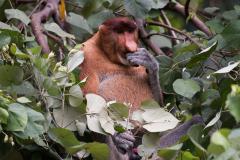 Bako NP - Proboscis monkey