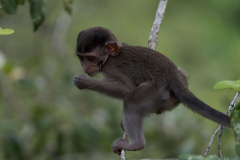 Bako NP - Crab-eating or long-tailed macaque