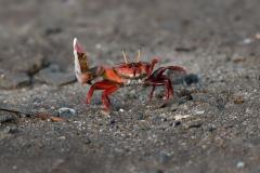 Bako NP - Fiddler crab