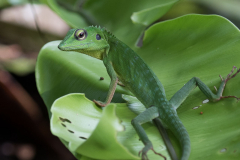Gunung Mulu NP - Crested green lizard