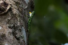 Kinabatangan - Flying lizard