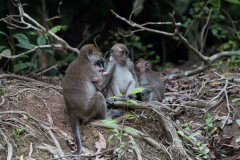 Kinabatangan - Long-tailed macaque
