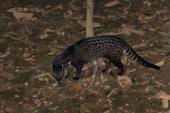 Kinabatangan - Malay civet