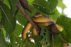 Kinabatangan - Grey tailed racer snake