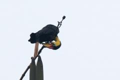 Kinabatangan - Wrinkled hornbill