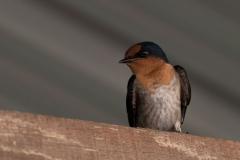 Kinabatangan - Barn swallow