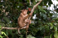 Kinabatangan - Pig-tailed macaque