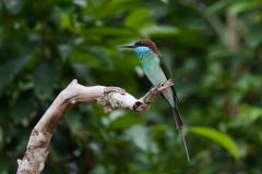 Kinabatangan - Blue-throated bee-eater