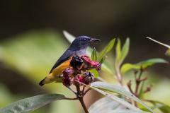 Kinabatangan - Orange-bellied flowerpecker